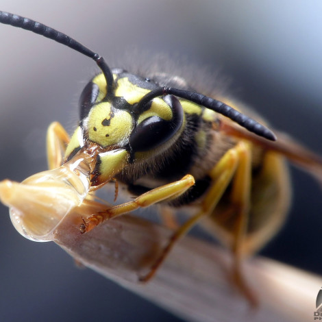 Senj, 10.10.2005 - Wasp eating honey. Olympus C5050, Nikkor 50mm f1.4 reverse 1/100 sec, f8.0, ISO 100 ASA